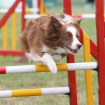 Physiotherapy for Agility dogs
